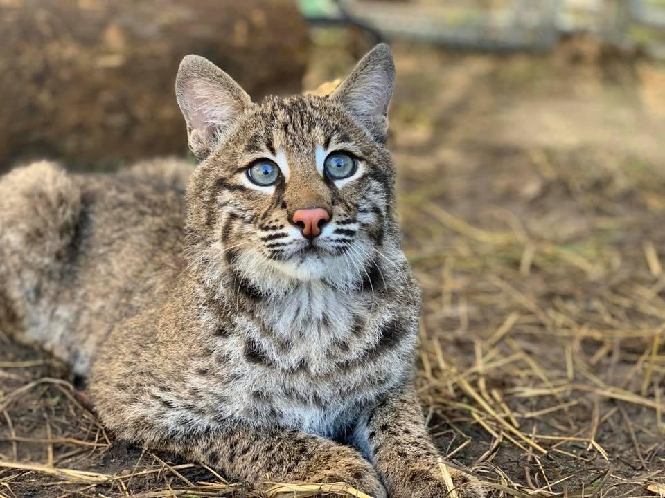 Flint Bobcat