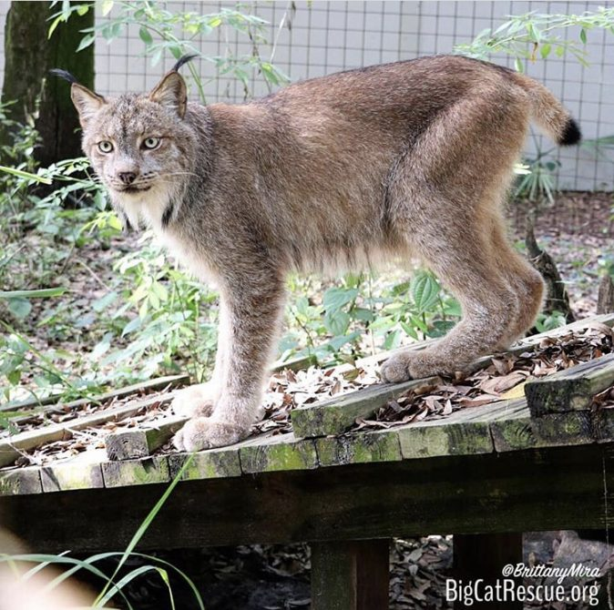 Gilligan the Canadian Lynx likes to chase the meds keeper just in case there is an extra treat!