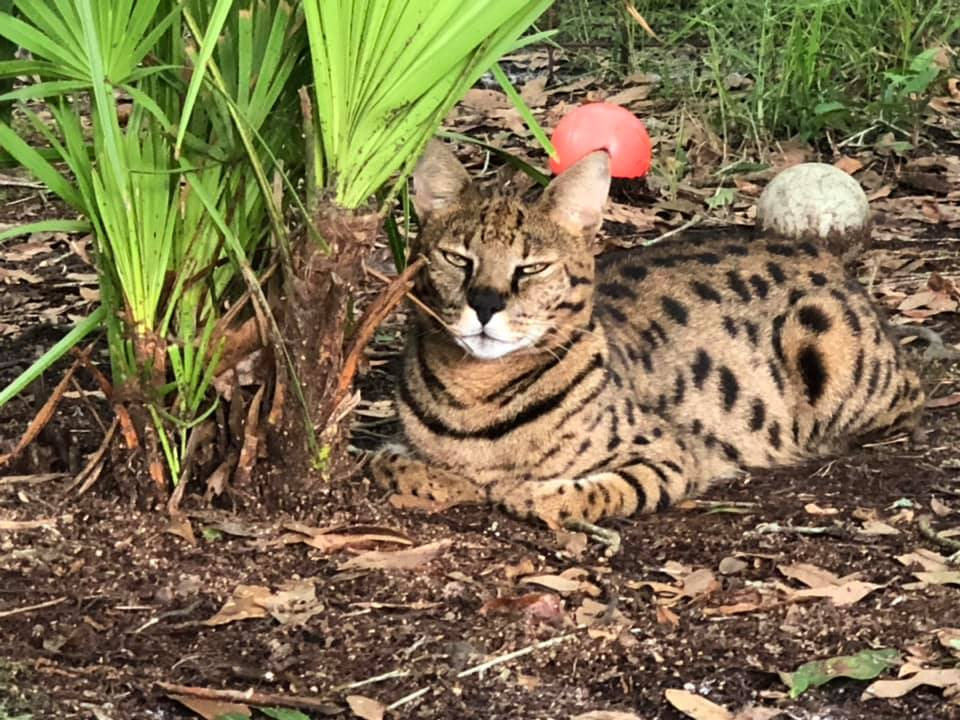 I just love Beacher the Savannah Cat's all black nose!