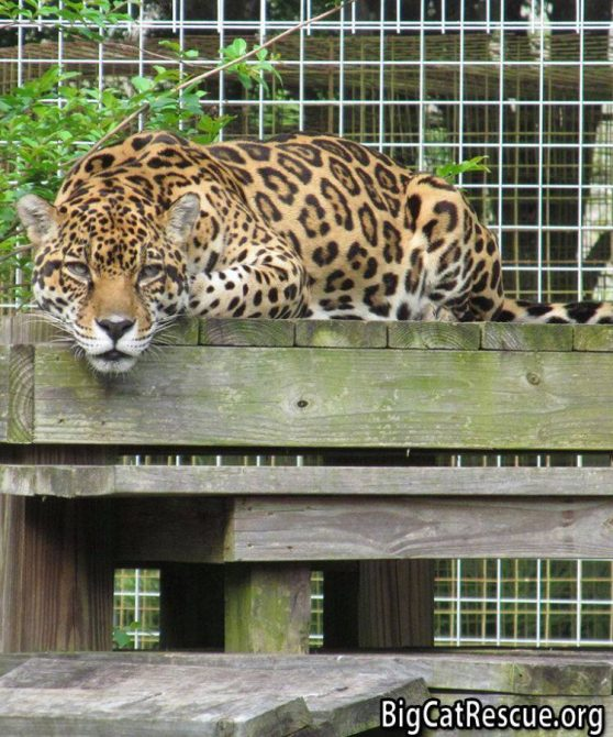 Mr. Intense, Handsome Manny Jaguar wishes everyone a Happy FURsday Thursday!