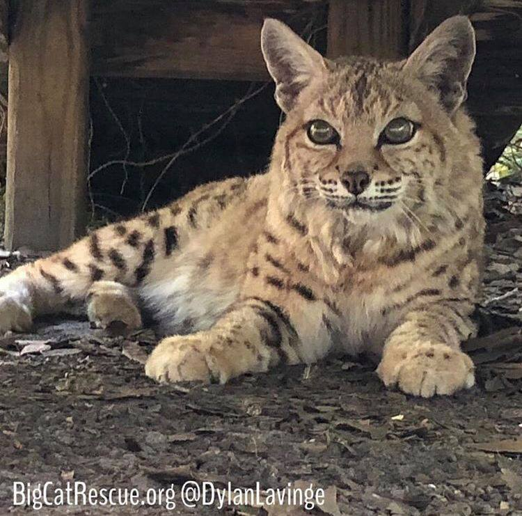 Tiger Lilly Bobcat lounging in the shade and hoping for a sicle!