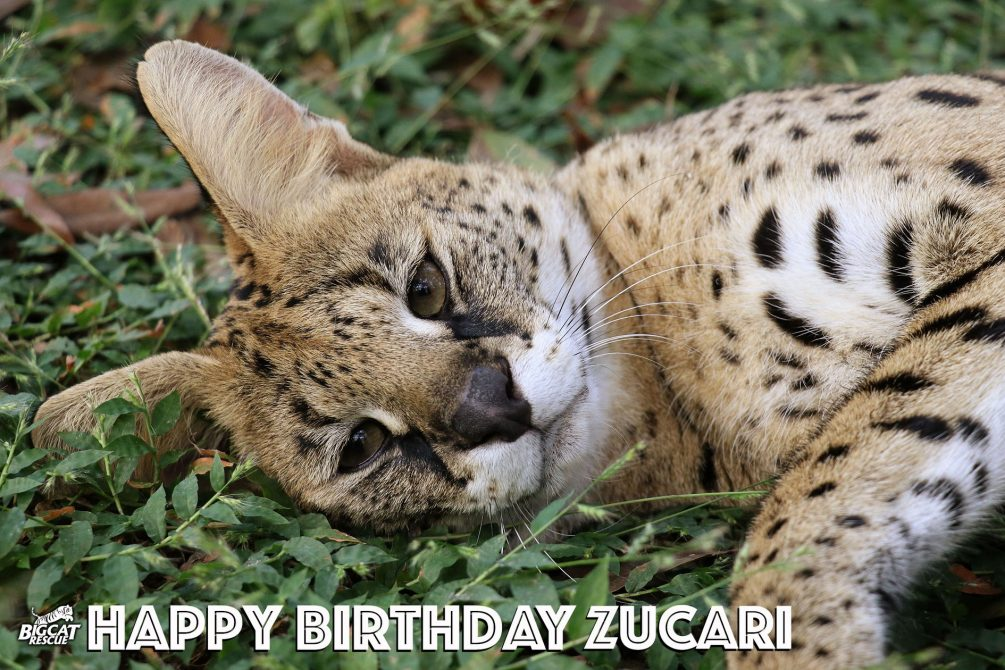 Help us wish a very Happy 4th Birthday to Zucari the Serval!! What a cutie pie!