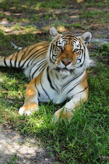 Dutchess Tiger
