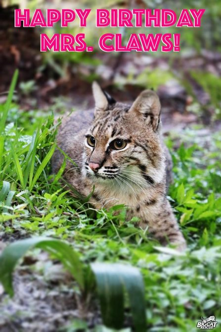 Mrs. Claws bobcat turns 4 Years Old Today!! Happy Birthday, Miss!!
