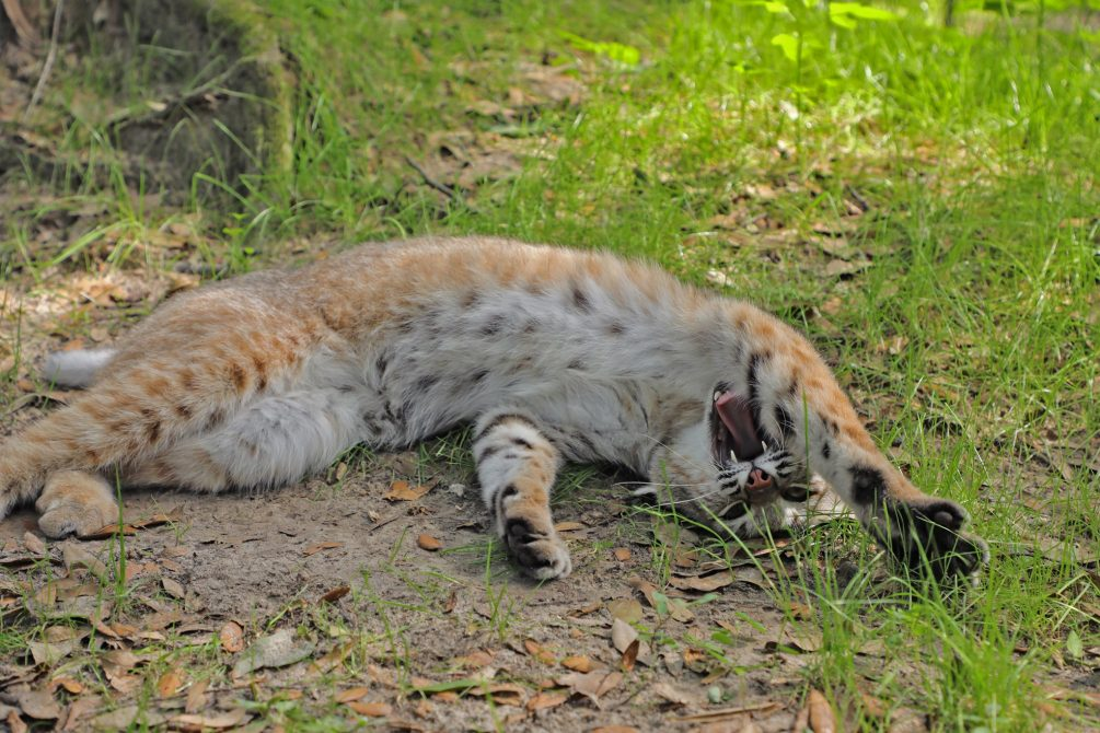 Big stretches! Lets get this day started! Nabisco, bobcat! By Jamie Veronica
