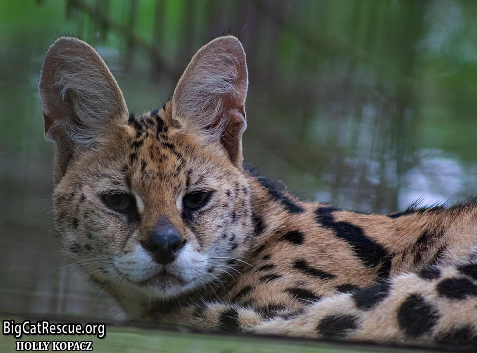 Miss Ginger Serval wishes everyone a pleasant evening!