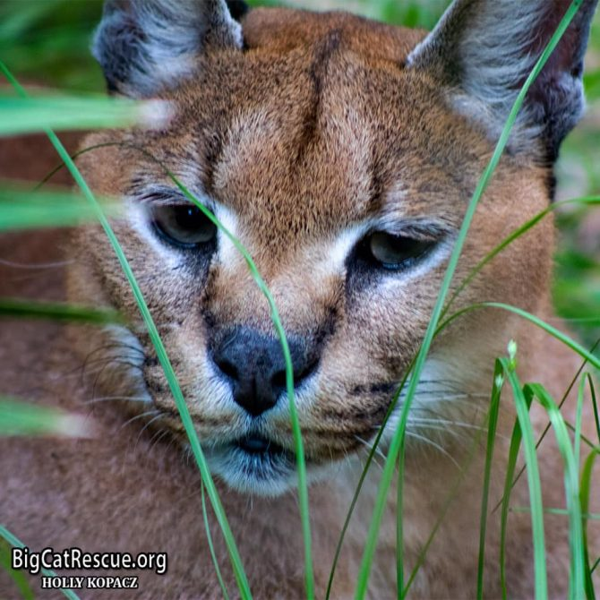 Handsome Cyrus Caracal wishes everyone a peaceful, restful evening!