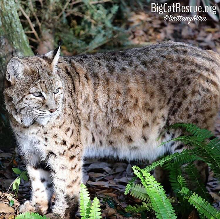 Beautiful Breezy Bobcat in the morning sun!