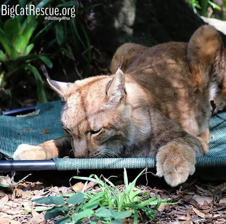 Apollo the Siberian Lynx enjoyed every bit of his bloodsicle!