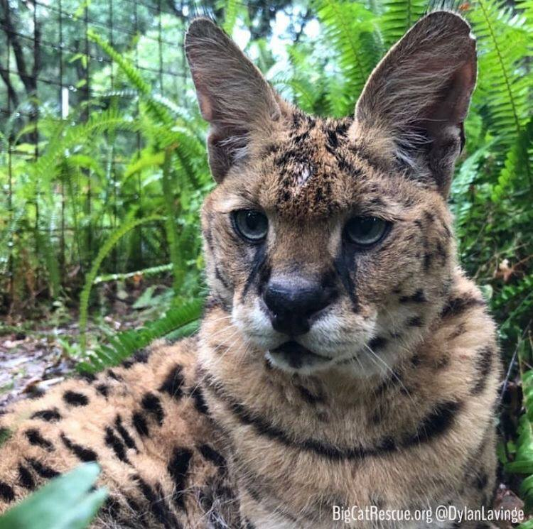 Zimba Serval hiding out in his ferns-waiting to surprise his keepers!