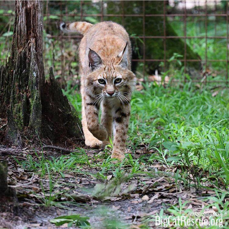 Rise and shine with Kewlona Bobcat who is on her way to the feeding lockout for breakfast!