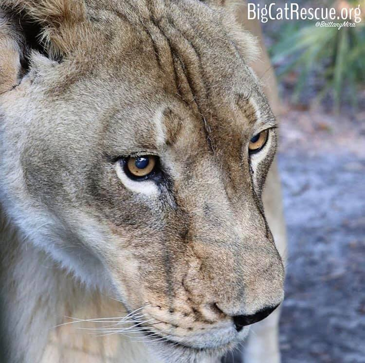 Did you say chicken?- Nikita Lioness