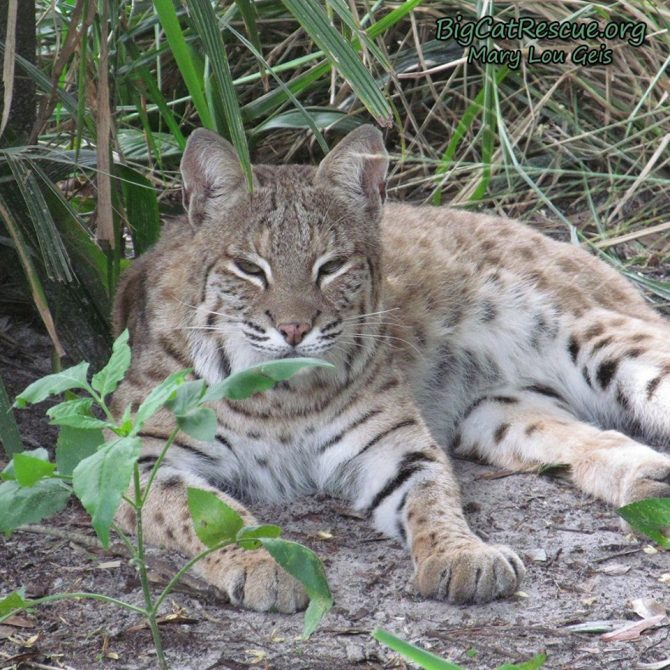 MaryAnn Bobcat is ready for her catnap! Did you know that MaryAnn Bobcat and Priya Tigress are the only 2 cats at BCR with almond eyes?