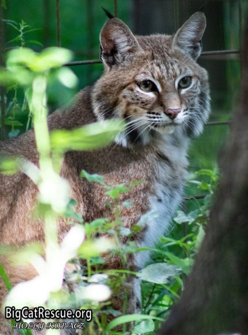 Handsome Dryden Bobcat is headed off for his evening catnap!