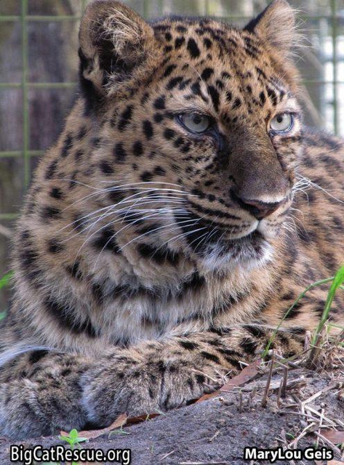 Beautiful Miss Natalia the Amur Leopard is wishing everyone a great week ahead!