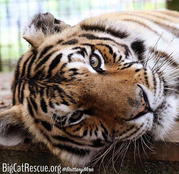 Jasmine Tigress enjoying a lazy afternoon.