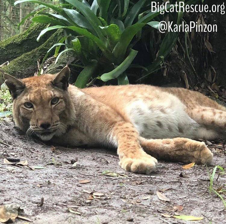 Apollo Siberian Lynx - Apollo the Siberian Lynx was born in 1997 and saved from a fur farm -he has been able to live his best life ever since at BCR!