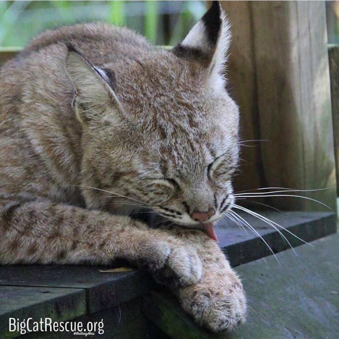Nabisco bobcat had a long day of getting treats-so now it's time to groom and nap!