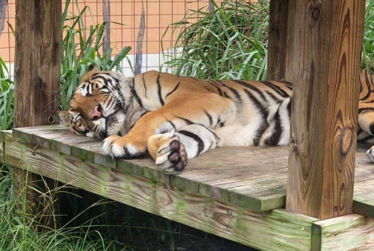 Hoover Tiger knows just the way to start his CATurday! A CATnap after breakfast sounds good to me too Governor! 🐾🌴 Have a great day everyone! Photo: Courtesy Keeper Lynda