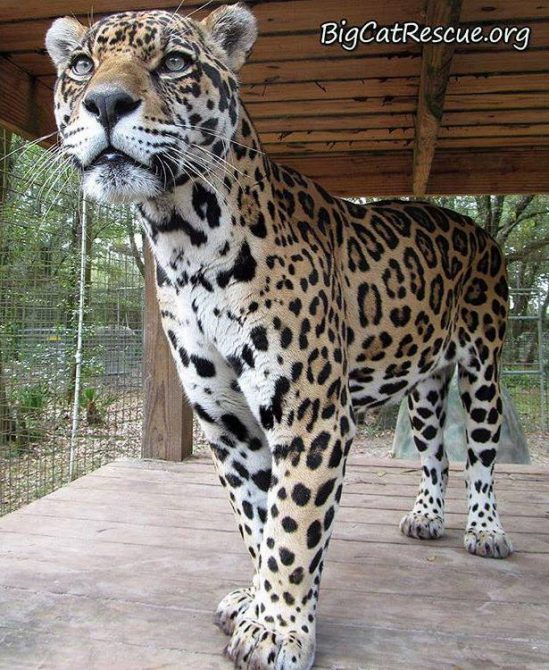 Manny Jaguar is so intense... intensely handsome that is!