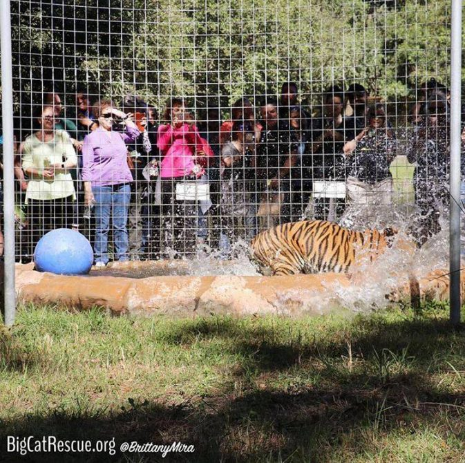 Are you coming to the 2019 Wildcat Walkabout at Big Cat Rescue? Get all the information at: http://bigcatrescue.org/safari-days