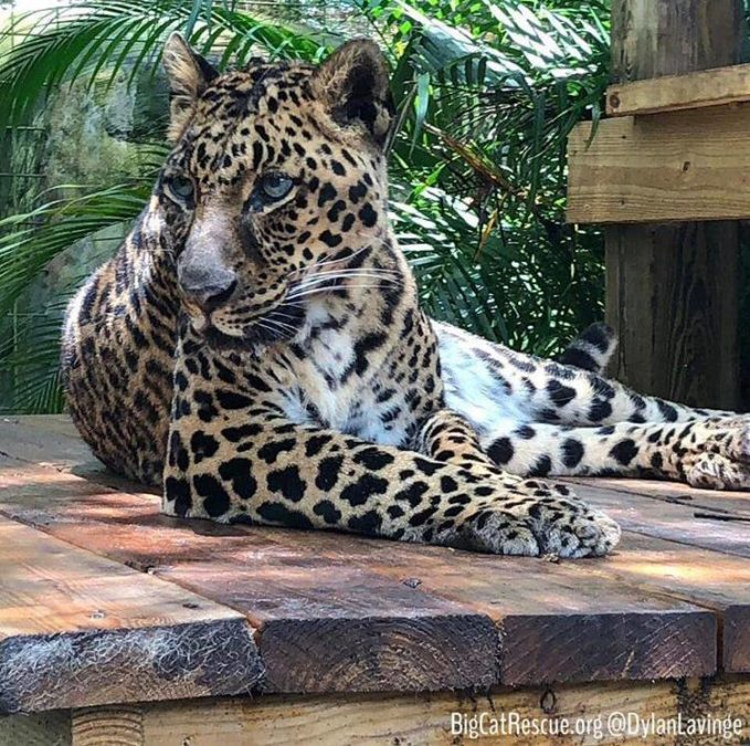 Armani Leopard looking picture purr-fect on her platform!