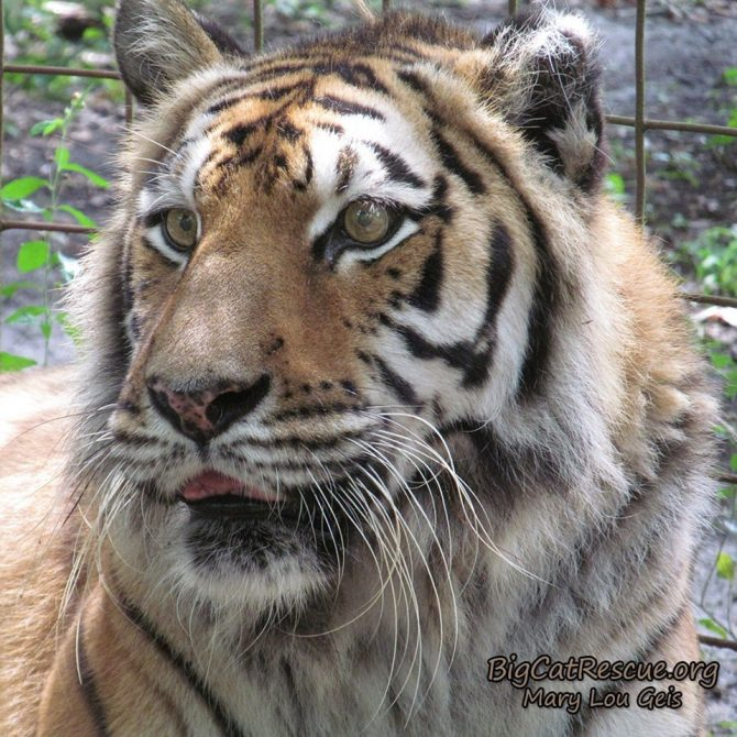 Keisha Tiger