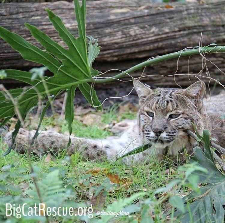 Moses Bobcat thinks it's the purr-fect afternoon for a #catnap.