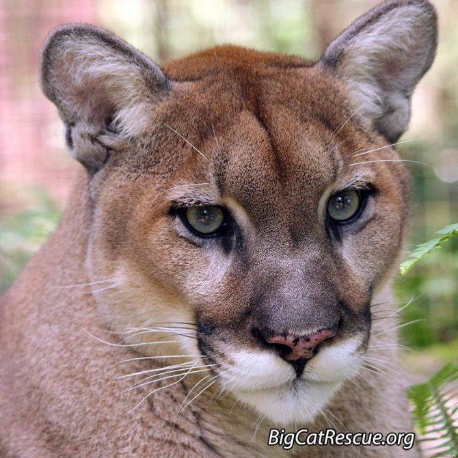 Fun Fact: Did you know Ares is the only one of the Cougar siblings with spots on his nose?