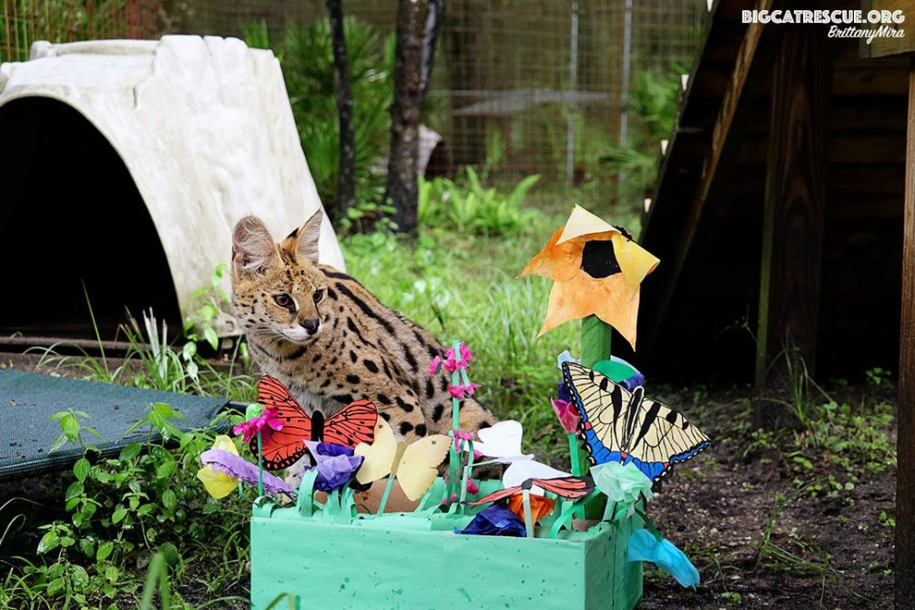 Illithia the serval, BCR's newest rescue, received her first special enrichment from the amazing Wednesday night enrichment team! She got an adorable flower garden with butterflies made out of paper and cardboard lightly sprayed with scents. She was hissy and skeptical at first... but then stuck her whole face inside the box and then laid near it for the afternoon. By Brittany Mira