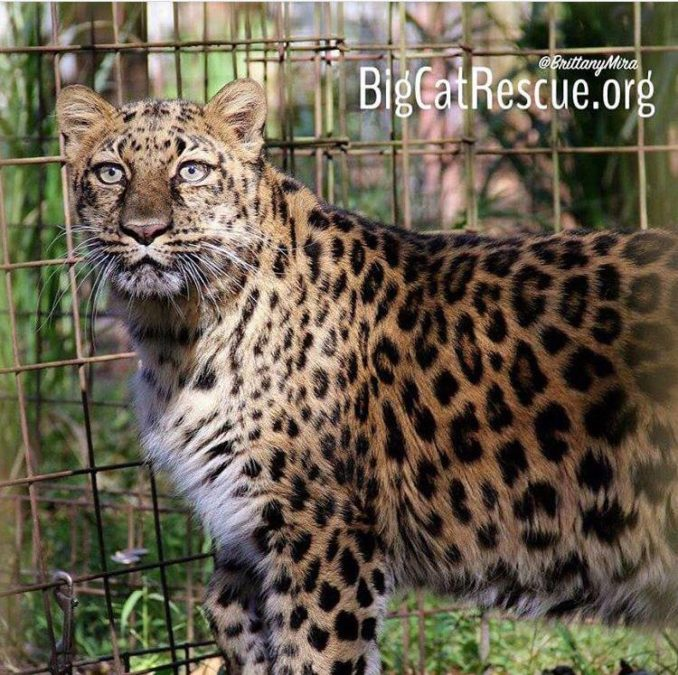Beautiful Natalia the Amur Leopard is looking to see what Armani is chatting about!