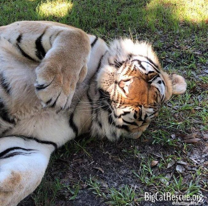 Aww-virtual boop! Good night Kali Tigress!