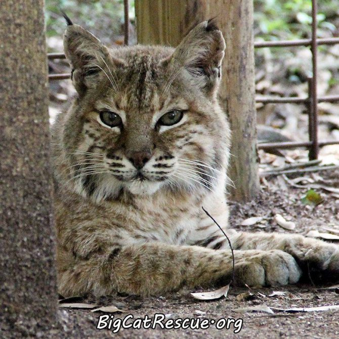 Beautiful Miss Andi Bobcat wishes you all a pleasant evening!
