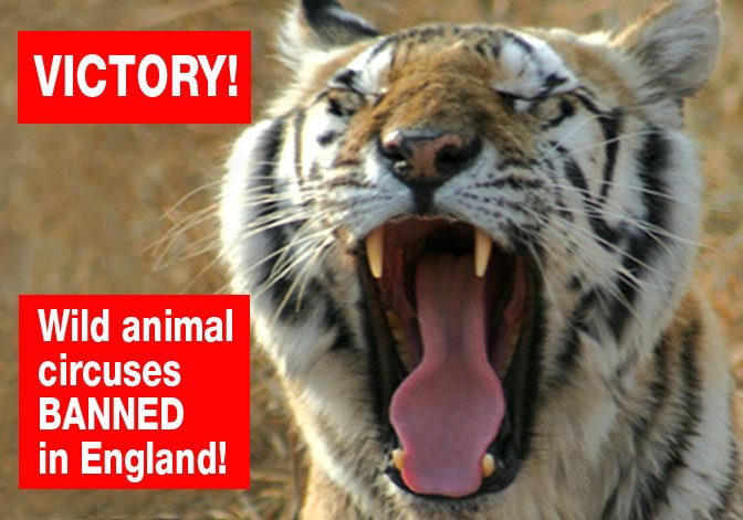 FANTASTIC NEWS!! The bill to ban the use of wild animals in circuses in England has just passed its third and final reading in the House of Lords. It will become law in January! After more than 20 years of ADI investigations and campaigns, and over a decade of government promises, this archaic abuse will finally end, sparing countless animals from a life of circus suffering and violence. A huge thank you to everyone who has taken action to help the animals over the years – writing to your MP (again and again!), attending circus protests, donating to enable us to expose and campaign against the suffering, and more. TOGETHER WE DID IT! Read more http://bit.ly/CircusBanEngland