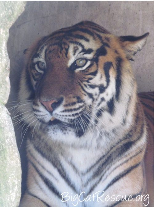 Miss Amanda Tigress wishes you a fantastic FURsday Thursday!