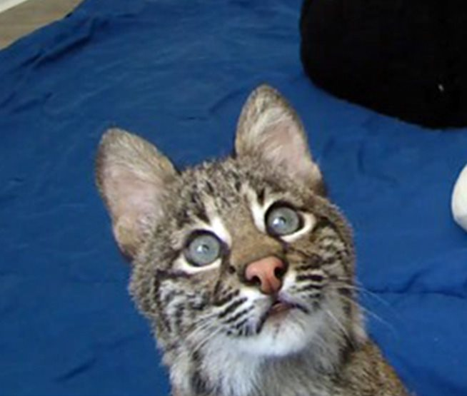Flint, the rehab bobcat kitten, will go going out to get an MRI tomorrow. Your support makes this level of care possible, so THANK YOU!!