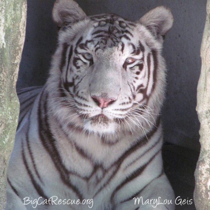 Miss Sapphire Tigress hopes everyone has a beautiful and blessed Sunday!❤️