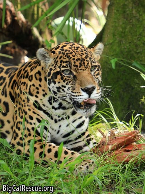 Handsome Manny Jaguar has the cutest whiskers for Whiskers Wednesday! >>•<<
