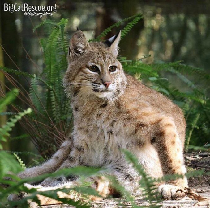 Smalls Bobcat has to take a good long bath after breakfast before her all day nap!