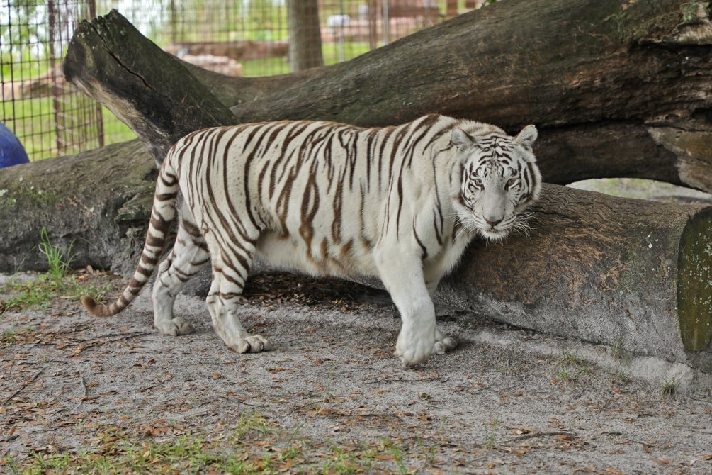 Head over to our channel BigCatTV.com for an exclusive video featuring Sapphire the white tiger. Be a part of the veterinary procedure in this 180 3D virtual reality experience. Meet the doctors and watch them in action!