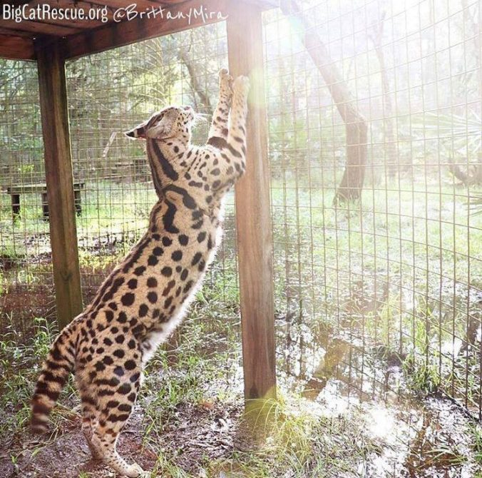 Rise and shine with Hutch Serval!