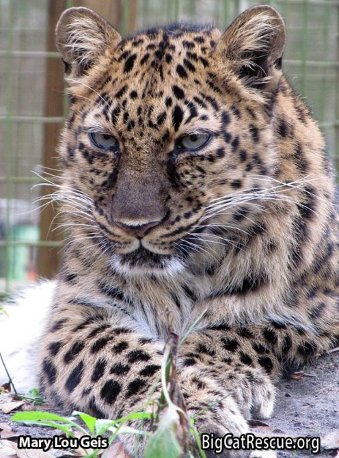 Exquisitely beautiful Natalia the Amur Leopard is ready to show off her amazing whiskers on Whiskers Wednesday! />>•< <