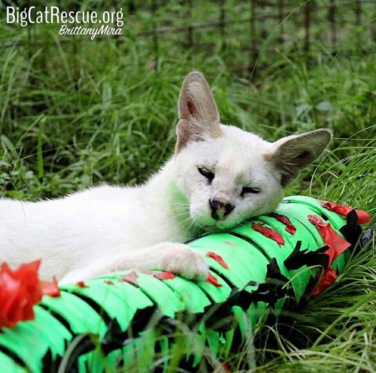 "Sweet little Pharaoh Serval absolutely loved his ""cat-erpillar"" enrichment."