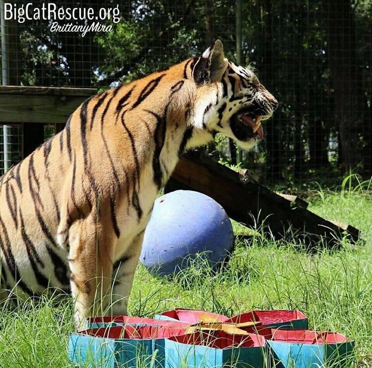Jasmine Tigress sure loved her cardboard flower with pumpkin spice!