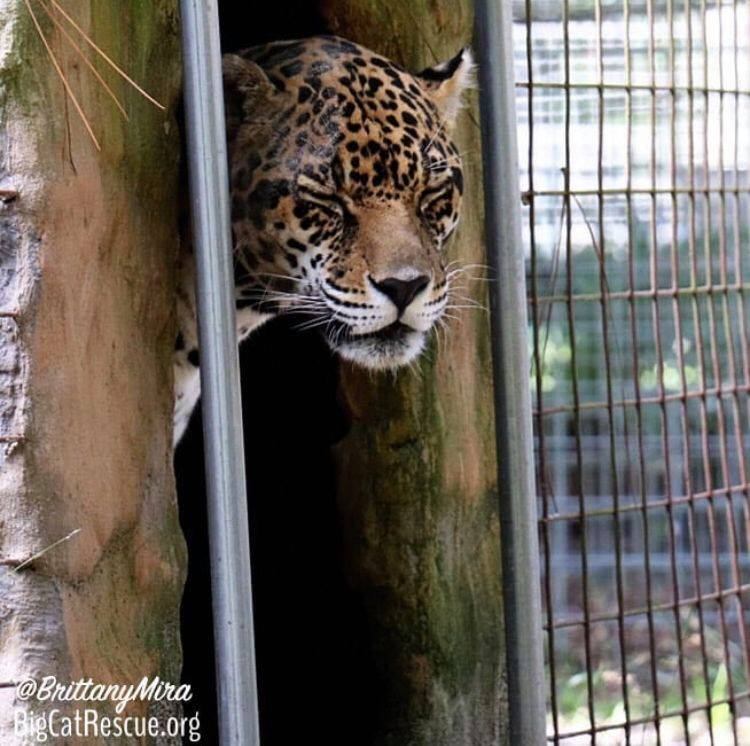 Manny Jaguar had a wild weekend and is ready for bed!