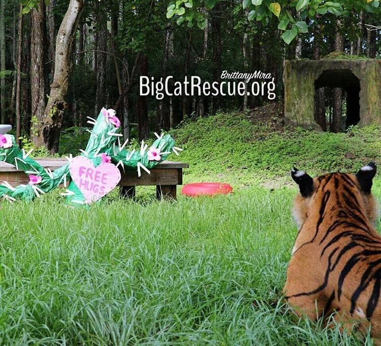Priya Tigress was skeptical of the free hugs but by the next day, she had hugged it all over her enclosure! BigCatRescue.org/enrichment