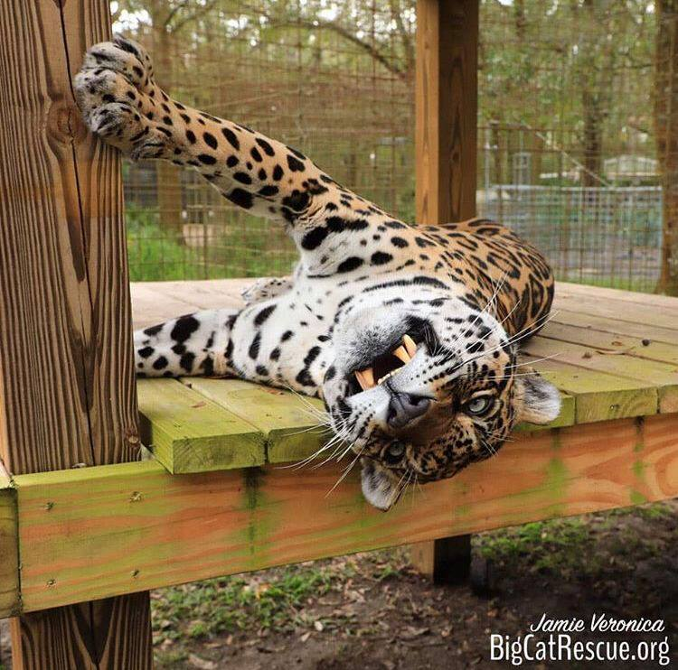 Manny Jaguar showing off his silly side!