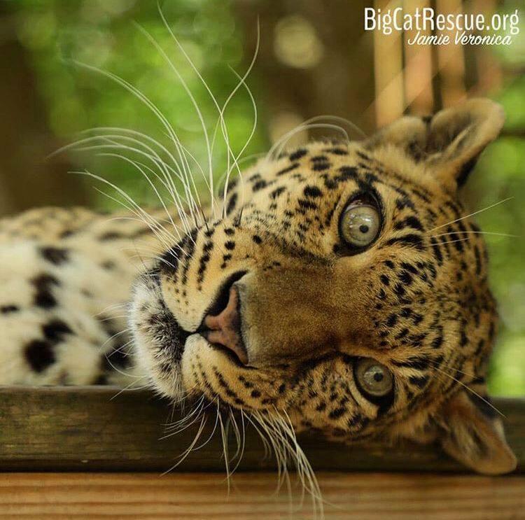 Sundari Leopard has whiskers for days!