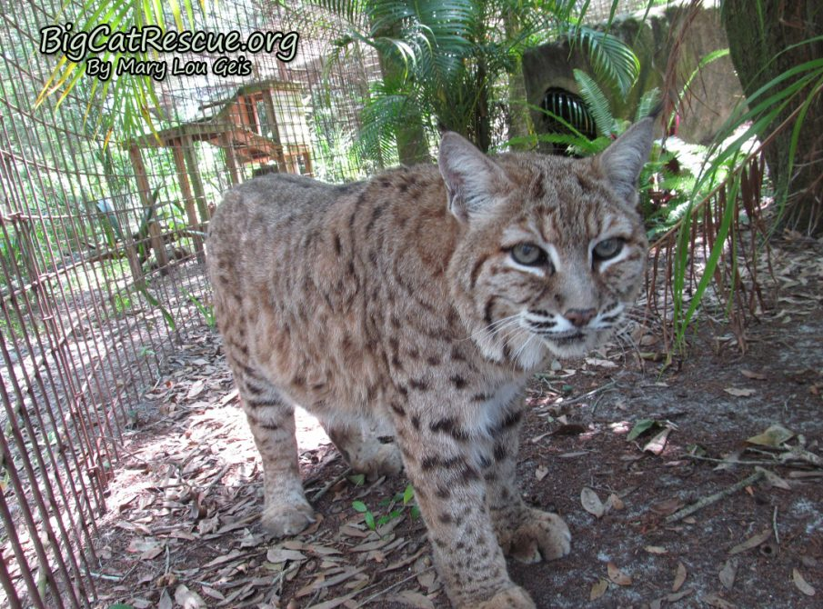 Breezy Bobcat stalking around to see if Keeper Mary Lou is bring treats!