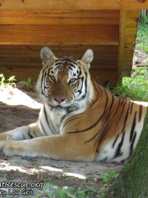 News @ BCR Archives | Big Cat Rescue